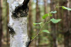 Jarní bylinky – bříza, medvědí česnek a borovice kleč