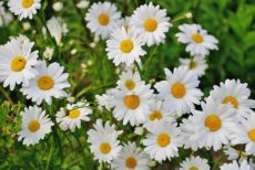 Jarní bylinky II – sedmikráska a kopřiva