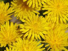 Jarní bylinky III – jitrocel a pampeliška