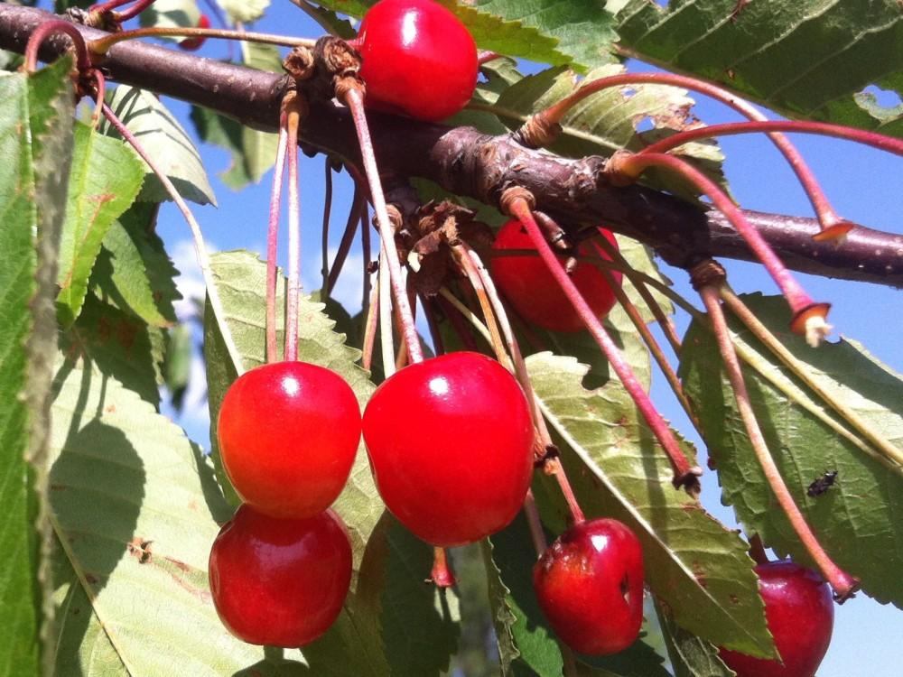 Proč jíst třešně – nejen pokud máte dnu